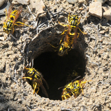 Yellow Jacket Removal San Diego CA